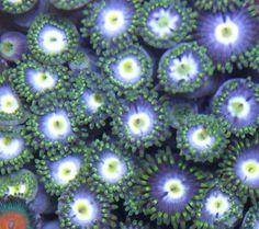 green yellow blue zoas zoas coral frag on frag platform marine aquarium at Aquarist Classifieds