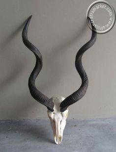 http://www.africancraftsmarket.com/African-Kudu-skull.jpg
