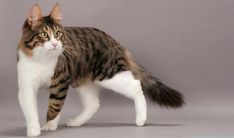10 Most Beautiful Cat Breeds in the World – Cat Supplies Turkish Angora Cat, Angora Cats, Most Beautiful Cat Breeds, Beautiful Cats, All Cat Breeds, American Bobtail Cat, Domestic Cat Breeds, Gatos Cool, Teacup Cats