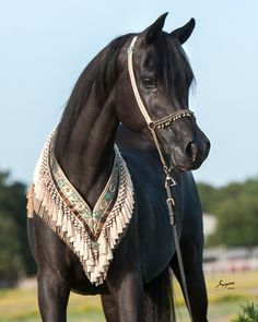 On our farm in central Texas is the amazing Rhapsody in Black (Thee Desperado x Aliashahm RA) - 1994 Black Mare.  An exceptionally beautiful solid black filly! #rhapsodyinblack #theedesperado