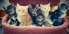 #kurilianbobtail #kittens available <3 www.funkytail.co.uk Bobtail Cat, Cattery, Kittens, Cats, Animals, Cute Kittens, Gatos, Animales, Animaux