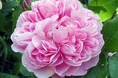 Rosa 'Jacques Cartier'.Rose ancienne Portland
