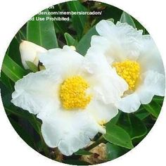 "Gordonia, ""fried-egg"" tree, evergreen related to Camellia"