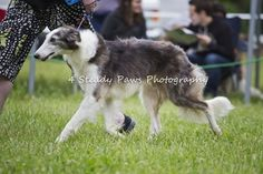 Quinni on the move East Coast, Dog Breeds, Husky, Dogs, Photography, Animals, Photograph, Animales, Animaux