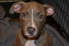 Dazzle is an adoptable Pit Bull Terrier Dog in Mchenry, IL. Dazzle is a sweet, gentle and inquisitive blue nose brindle female pit mix about 3.5 months old. She gets along with all dogs and LOVES chil...