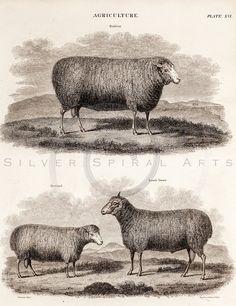 Vintage Sheep Animal Illustration Printable by SilverSpiralStudio