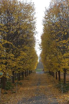 Here was my linden allee - soon, these trees will be bare of leaves.