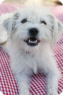 Just in case anyone is looking in Southern California, here's a super sweet Maltese mix puppy for adoption!