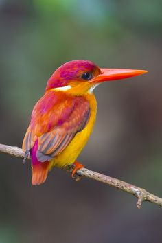 loveforearth:  Rufous-Backed Kingfisher (Ceyx rufidorsa) @ Panti Forest (by…