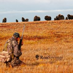 Successful stalk. Now where's the bull? @swarovskioptik_hunting #hunting #arctic #muskox #tundra #ronspomeroutdoors