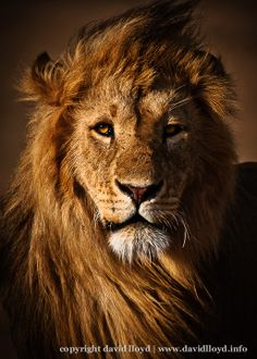African Lions Tattoos Image Search Results