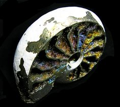 Quenstedtoceras Ammonite | Flickr - Photo Sharing!