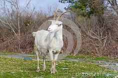 Goat white color standing on green grass in cloudy spring day
