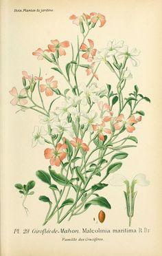 gravures fleurs de jardin - gravure de fleur de jardin 0067 giroflee de mahon - malcolmia maritima - Gravures, illustrations, dessins, images