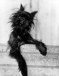 "Caption that accompanied this picture in the Feb. 2, 1959, issue of LIFE: ""The 'monkey terrier' comes from Germany where it was bred 300 years ago as a rat catcher. Bushy-faced with an underslung chin, the toy sized dog has a fiery, excitable disposition."""
