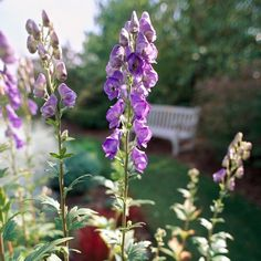 Monkshood It grows best in Zones and grows up to 6 feet tall. Top Picks: 'Bressingham Spire' offers violet-blue flowers on plants; 'Stainless Steel' offers steel-blue flowers on plants. Perrenial Flowers, Flowers Perennials, Tall Perennial Flowers, Herbaceous Perennials, Tall Plants, Shade Plants, Shade Flowers, Yellow Flowers, Summer Flowers