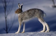 Mountain hare, Norwayhttp://haarbergphoto.com