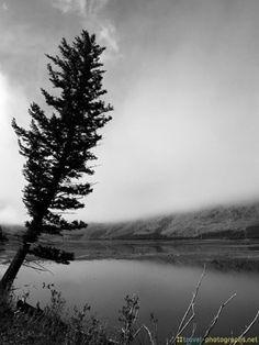 Tree at a lake in Yellowstone National Park #Yellowstone #Wyoming #NationalPark #NationalParks #Travel #Tree #Lake