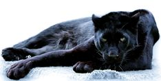 ImageFind images and videos about animal, black panther and panther on We Heart It - the app to get lost in what you love. Animals And Pets, Baby Animals, Cute Animals, Wild Animals, Beautiful Cats, Animals Beautiful, Panther Leopard, Serval Cats, Black Panthers