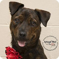 Pit Bull Terrier Mix Dog for adoption in Troy, Ohio - Jupiter