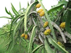 pitayas amarillas