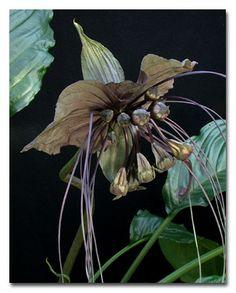Bat Flower, Tacca chantrieri. Location Myanmar. Photo: L. Brothers.@ Smithsonian Institution.