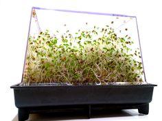 Alfalfa-spirer