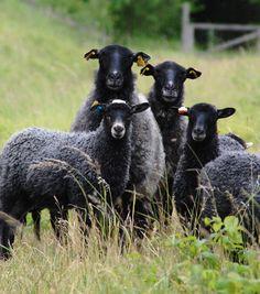 Gotland Sheep breed. Sweden   Ullcentrum