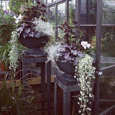 Samplanteringar med mörk palettblad, silvernjurvinda, cyklamen, alunrot och silvergirlang. #slottsträdgårdenulriksdal