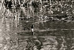 Female Common Goldeneye B/w By Leif Sohlman
