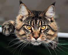 Maine Coon http://www.mainecoonguide.com/where-to-find-maine-coon-kittens-for-sale/ #DogTraining