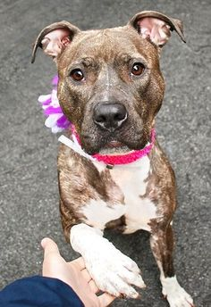 Manhattan Center SHIRLEY – A1034175 FEMALE, Y BRINDLE / WHITE, AM PIT BULL TER MIX, 1 yr STRAY – EVALUATE, NO HOLD Reason STRAY Intake condition EXAM REQ Intake Date 04/24/2015 http://nycdogs.urgentpodr.org/shirley-a1034175/