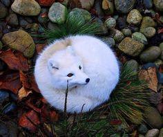 Arctic fox- My white Shiba Inu does this. They sleep like little cinnabuns!!! So cute
