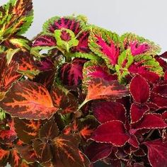 Superfine Rainbow Masterblends Mix coleus - Annual Flower Seeds