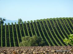 Vineyards of the Languedoc, South West France