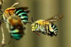 Australian Blue-banded bees