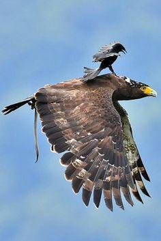 Drongo bird on a Crested Serpent Eagle Pretty Birds, Love Birds, Beautiful Birds, Animals Beautiful, Exotic Birds, Colorful Birds, Aigle Harpie, Big Bird, Birds Of Prey