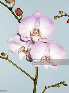 liliac phalaenopsis orchids, light blue background, plain background, buds, flowers, stem, portrait,shiny, open, fresh, still life, flowers