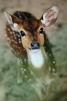 FAWN, BABY DEER.  LOOK' S LIKE A WHITETAIL FAWN.