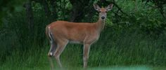 Study finds feral cats may be causing disease among deer.