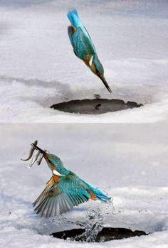 Colibris caçam peixes em aberturas no gelo.