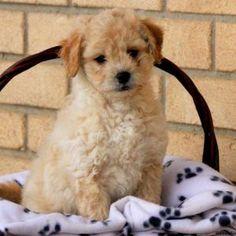 Pekingese Puppies for Sale - Peke Puppies Pekingese Puppies For Sale, Dogs And Puppies, Puppy Find, Greenfield Puppies, Poodle, Dog Breeds, Pets, Animals, Pet Stuff