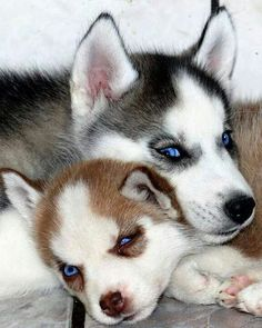 Husky Puppy Buddies