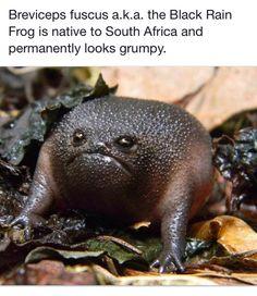 The Black Rain Frog