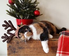 Christmas Pudge the Cat!