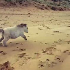 Tiny horse on the beach.
