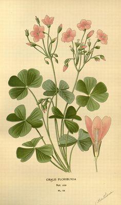 https://flic.kr/p/cSicEu | n185_w1150 | 'Oxalis Floribunda' /. London and New York :Frederick Warne  co.,1896-97.. biodiversitylibrary.org/page/36442498