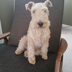 Relaxing with Mick the Lakeland terrier.
