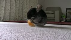 Chinchilla Food – Why is my Pet Chinchilla Eating Poop? MOre at URL: http://chinchilla.co/ Fb fan page: https://www.facebook.com/LoveChinchilla
