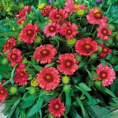 Arizona Red Shades Blanket Flower Plant